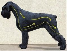 Detailed grooming instructions for the Giant Schnauzer