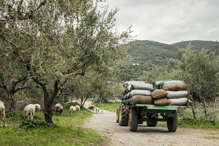 From the orchard straight to our olive mill - Andelea Estate Premium Extra Virgin Olive Oil