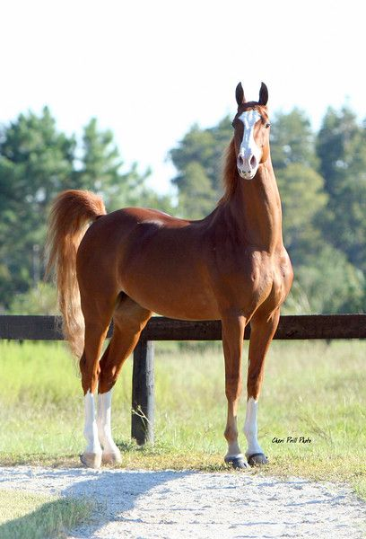 Avalon Stables - American Saddlebred horse. Beautiful creature.