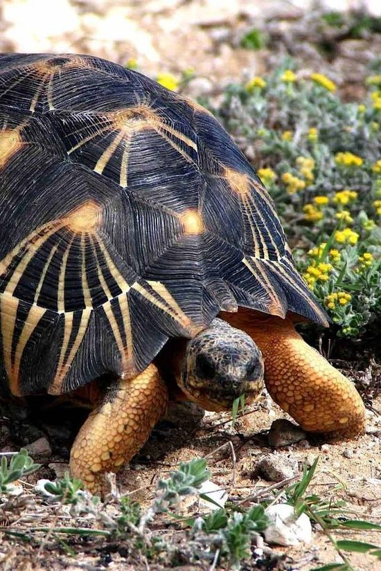 The Radiated Tortoise of Madagascar is Critically Endangered. This beautiful tortoise is endangered by habitat loss, poaching, and - not surprisingly - the pet trade.