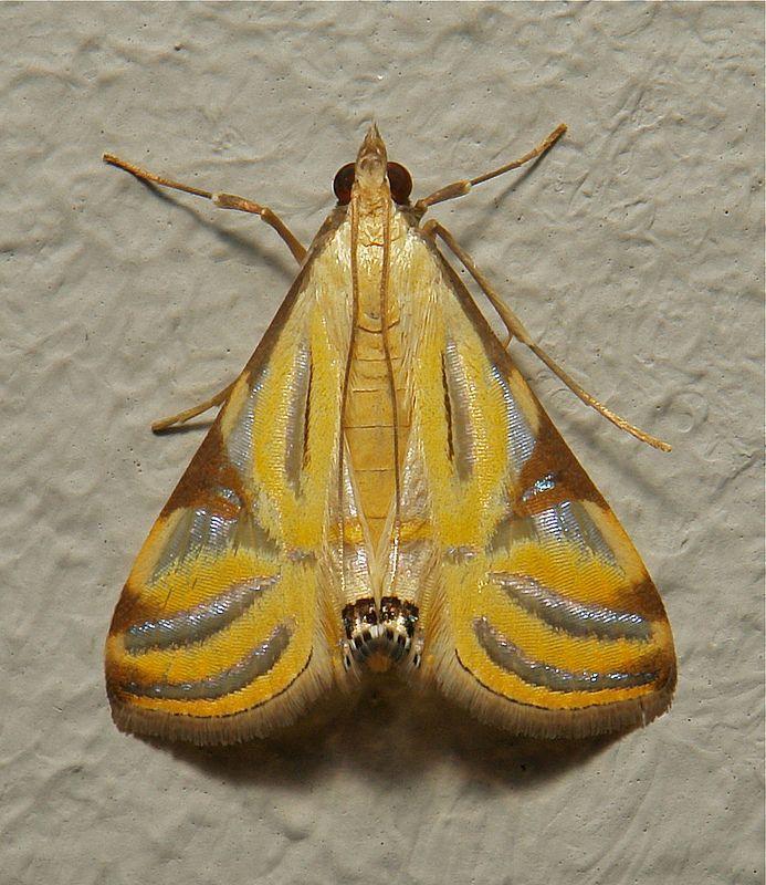 A crambid Moth (Talanga sexpunctalis) | by John Horstman (itchydogimages, SINOBUG)