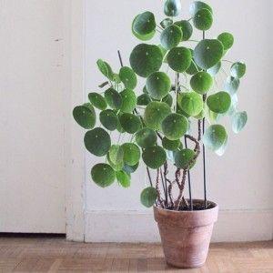 Pannenkoekplant.