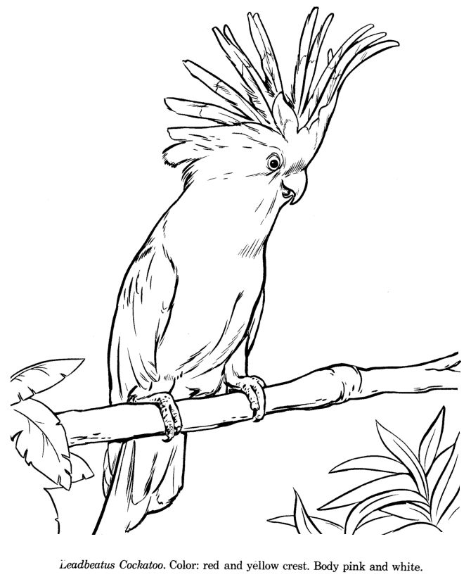 how to draw a cockatoo animals drawings wildlife id and coloring pages for kids