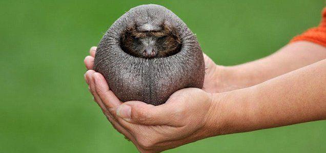 ouriço-cacheiro - Os Bichos