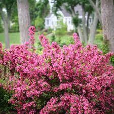 Pink Spiraea shrubs for sale | Buy Pink Spiraea shrubs