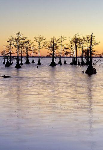 Cypress Grove, Lake Mattamuskeet, Outer Banks, NC