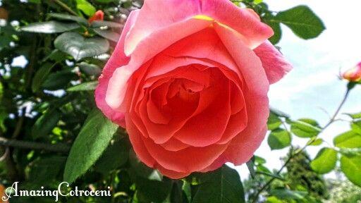 Beautiful rose in the Botanical Garden