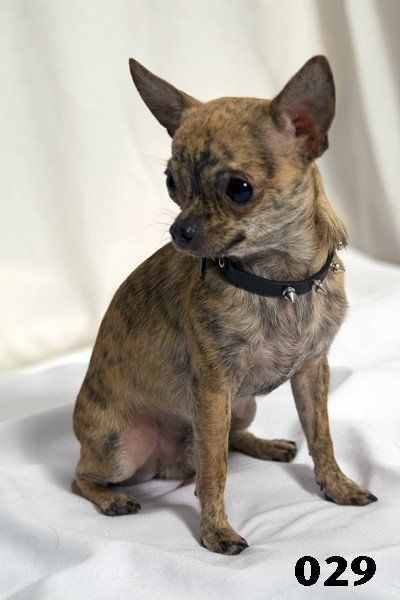 brindle chihuahua | Puppies!!! | Pinterest