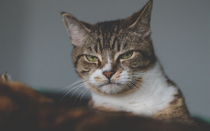Download wallpapers disgruntled cat, portrait, pets, gray cat, American Bobtail