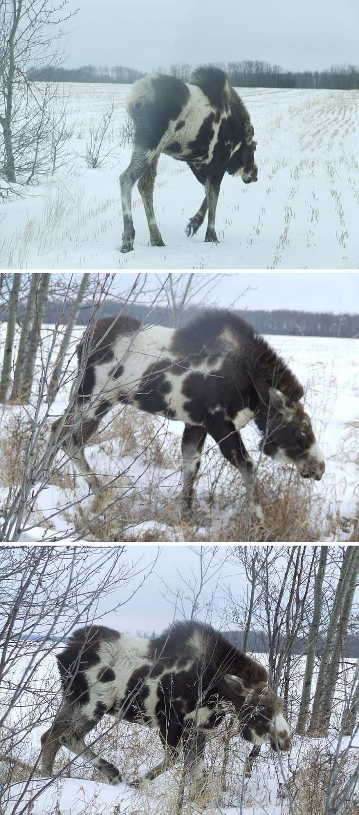 "Real - Piebald(also referred to as Pinto) Moose - The link includes these images and the following claim by ""breaks hunter"". I got these pics in an email from my uncle today. Pretty cool coloration. It said they were taken in Fahler, Alberta, Canada(This is circulating with a false location of Anchorage, Alaska) Usually only the second image is pinned or posted."