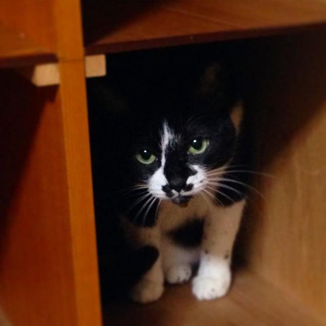 2017/04/24  洋服ダンスを片付けるために、中の物、全部出したらまぁ入りますよね(笑) おじゃまにゃん参上!そんでもって居座るw  #cat #猫 #ねこ #白黒猫 #はちわれ猫 #blackandwhite #愛猫 #にゃんすたぐらむ #あずき #たんすねこ