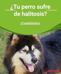 ¿Tu perro sufre de halitosis? ¡Combátela! La halitosis es el mal aliento en las mascotas. Para prevenirlo, en este artículo compartimos algunos consejos que te ayudan a mejorar la salud de tu perro. #enfermedad #aliento #prevenir #salud