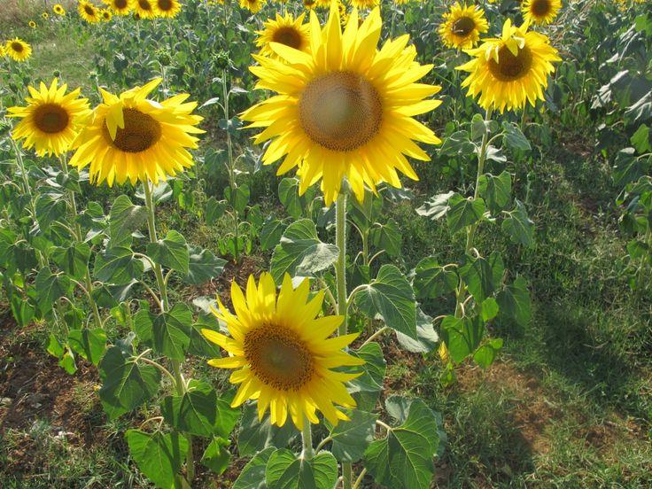 Απέραντα χωράφια με ηλιοτρόπια στη Χαλκιδική.Ένας παράδεισος με ήλιους