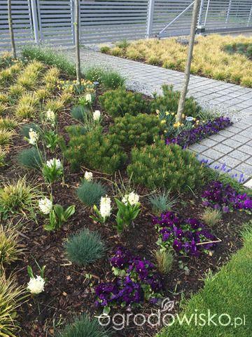 Ogród pod trzema dębami - strona 101 - Forum ogrodnicze - Ogrodowisko
