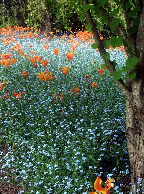 Field of forget me nots and lilies.