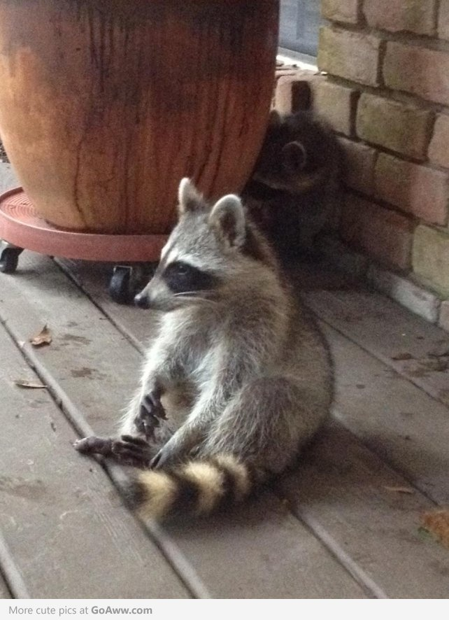 Racoon Bandit - Sister Jack - Racoon Bandit - Sister Jack