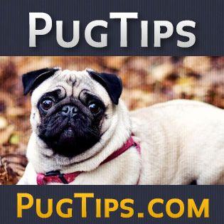 Pug Care 101   Pug Tips