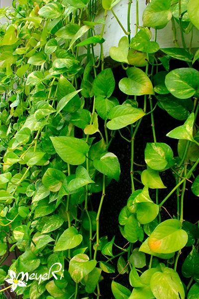 Sirih Belanda - epipremnum aureum. memiliki kelebihan gerakan merambat dengan cepat, warna daun kuning atau hijau kekuningan ini berfungsi sebagai salah satu tanaman antipolutan dengan kapasitas penyerapan yang besar.Supaya anda bisa nyaman berdampingan hidup dengan seseorang yang memiliki kebiasan merokok aktif dan udara disekitar rumah anda menjadi segar solusi yang dapat dilakukan adalah dengan menanam tanaman Sirih Belanda ( Devil's Ivy)