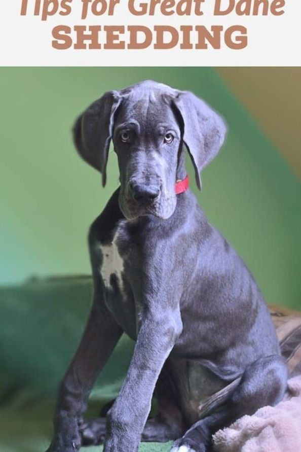 The Best Ways To Reduce Shedding In Great Danes Great Dane Care Great Dane Puppy Dane Puppies Great Dane