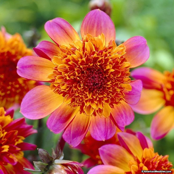 This stunning hot pink and orange Dahlia is also known as a Powder Puff Dahlia, earning its name from the unique double-feathered inner petals that resemble a powder puff.  The bright fuschia outer petals create a beautiful frame for the orange center, compelling your visitors to do a double take!  A must-have for the cutting garden.