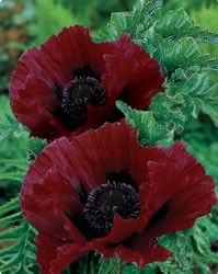 Bildresultat för poppy royal chocolate distinction