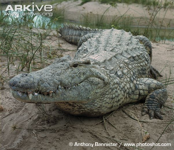 Crocodile | Nile crocodile photo - Crocodylus niloticus - G34546 - ARKive