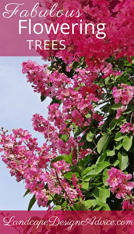 An outstanding pink flowering tree, the beautiful Crapemyrtle. Beautiful bark and very long flowering in the summer. There are hardy varieties for northern landscapes...lucky us! See more pink flowering trees.