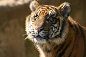 The tiger population has increased in 2016 for the first time in centuries and we couldn't be happier about it.