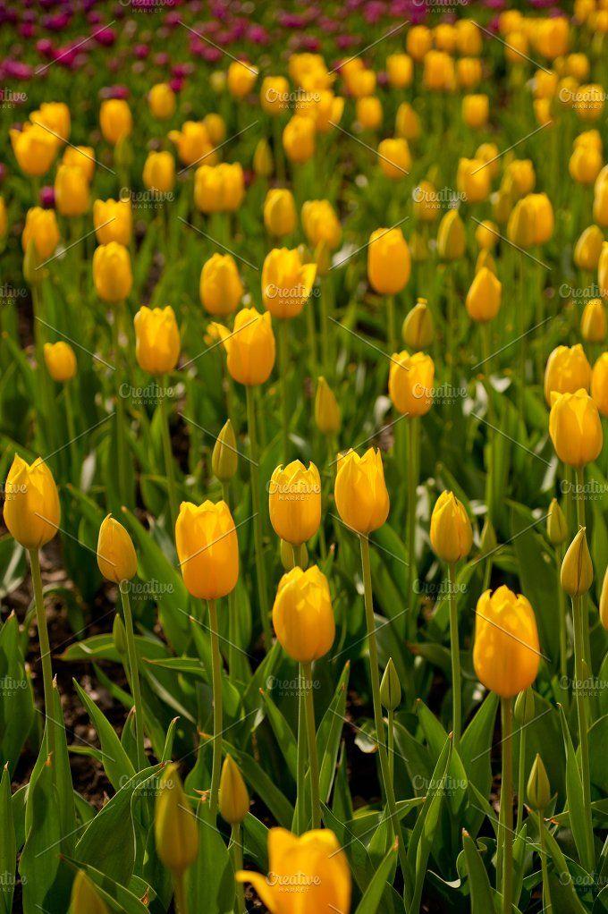 tulip field by keko64 on @creativemarket