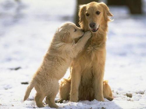 Golden retriever puppy and dog
