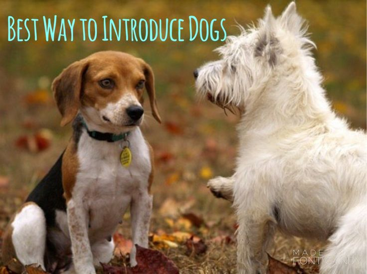 Best way to introduce dogs if your dog lunges at other dogs