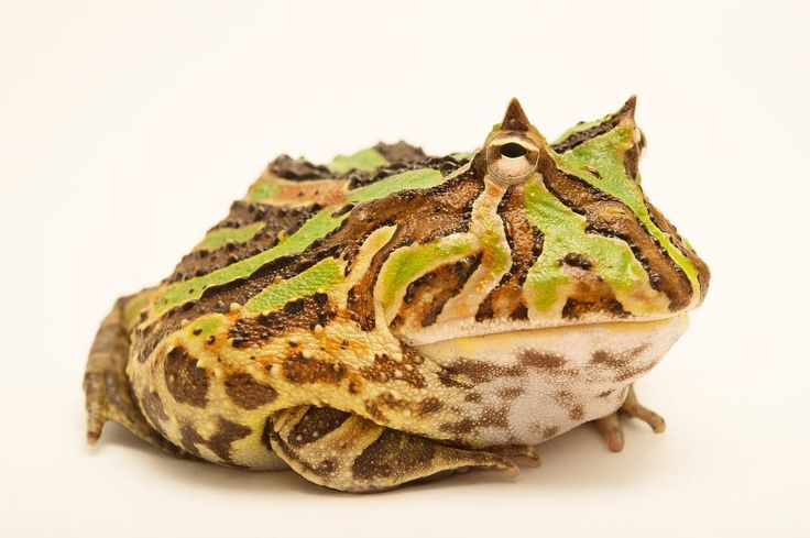 photo by @joelsartore | A Brazilian horned #frog from a private collection. #Follow me to see more of my recent work. #PhotoArk #joelsartore #photooftheday by natgeo