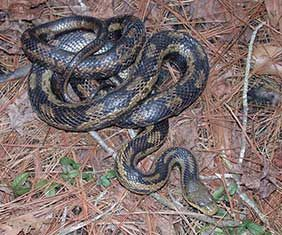 Aaaaaggghh Snakes To Watch Out For In The Lowcountry