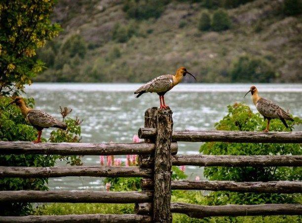 bandurrias, patagonia