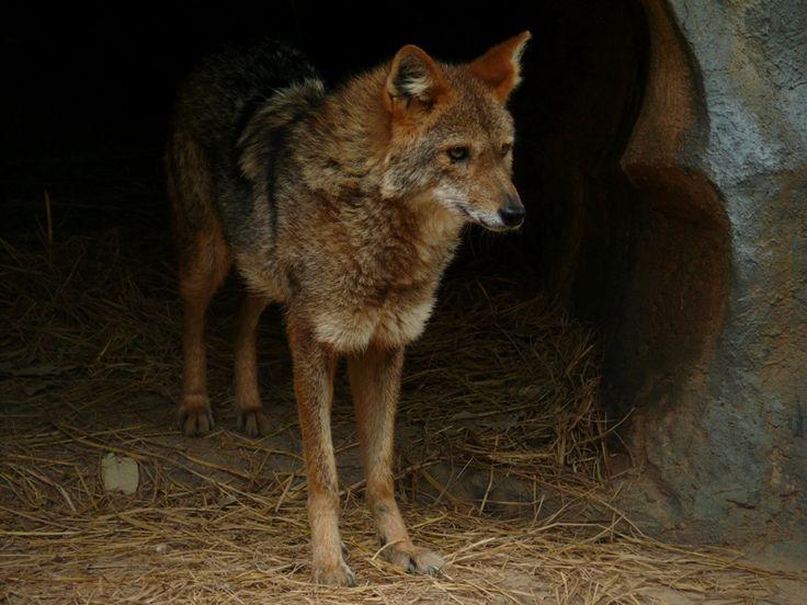 Canis aureus cruesemanni - Hinterindischer Goldschakal - Indochinese Golden jackal | Flickr - Photo Sharing!