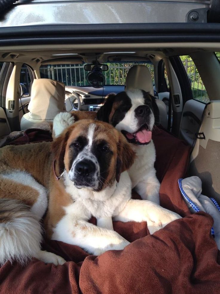 """We need willing fosters in Ohio/Western Pennsylvania vicinity for one or more of our wonderful Saint Bernards. Without fosters, hundreds of Saint Bernards would be destroyed - simply because there is no home for them to go to for rehabilitation,... **National Saint Bernard Rescue - PA """"Saving the Saints"""" Pittsburgh, PA 15201"""
