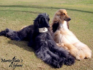Galgo afgano. Love this dog to much