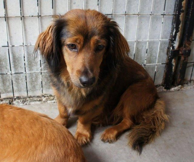 Meet Shorty, an adoptable Dachshund looking for a forever home. If you ...
