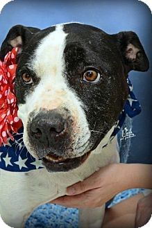 Houston, TX - American Pit Bull Terrier Mix. Meet Judy Garland a Dog for Adoption. Facts about Judy Garland Breed: American Pit Bull Terrier Mix Color: Black - With White Age: Adult Size: Med. 26-60 lbs (12-27 kg) Sex: Female ID#: 5918866-5813894