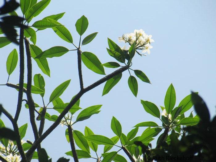 White Flowers, El Imposible National Park, El Salvador