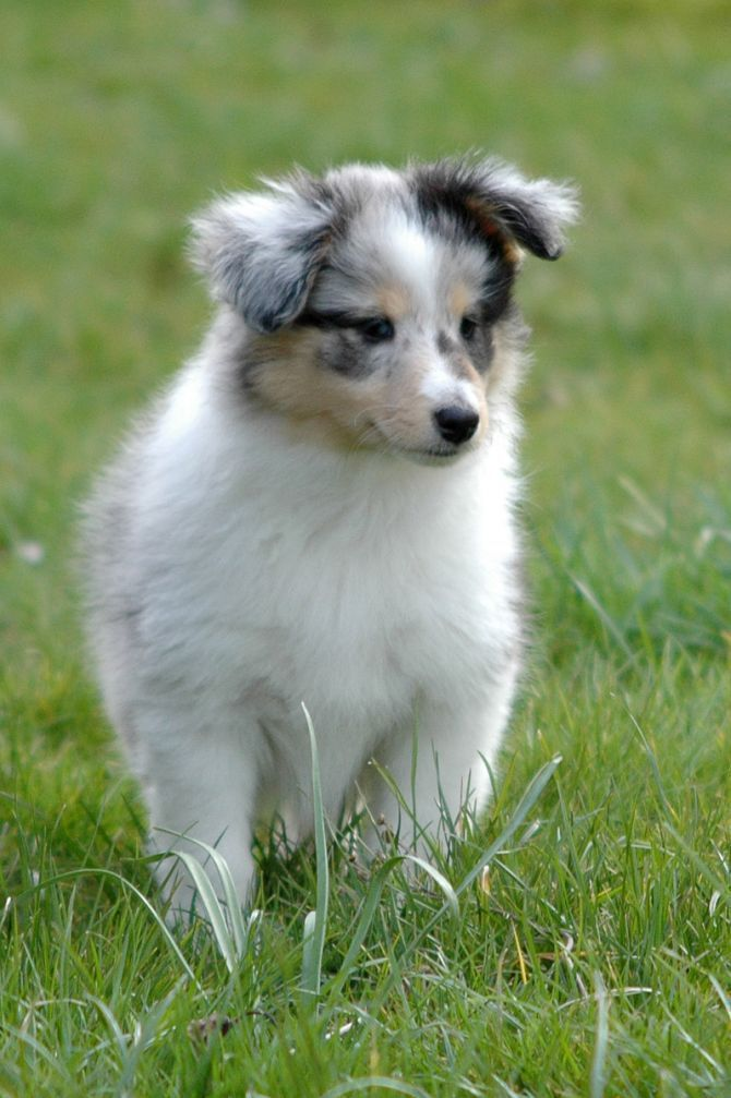 Cute Shetland Sheepdog Puppies