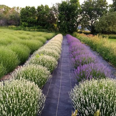 The Lavender Apple: Lavender Blossoms