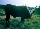 BAROTSE Lozi - Rowzi - Rozi. Barotse es una raza originaria del sur de África, adaptadas a inundaciones.   Sus huesos son fuertes y sus cuernos largos.   Los colores más comunes son el negro el marrón y el rojo oscuro.  Los toros pesan alrededor de 580 kg y las vacas 400 kg.