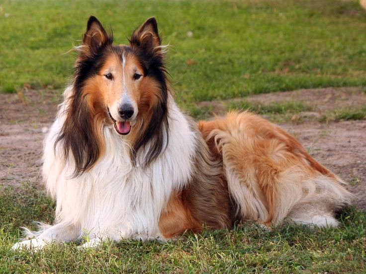 The Collie is a native breed of Scotland. Description from cutagulta.com. I searched for this on bing.com/images
