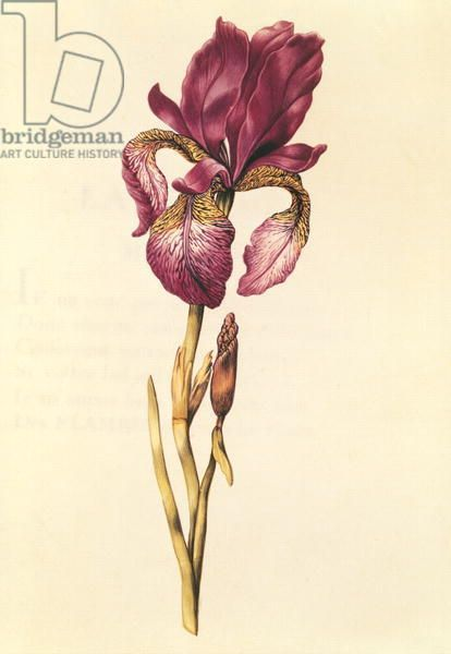 Iris, from 'La Guirlande de Julie', c.1642 (w/c on vellum)
