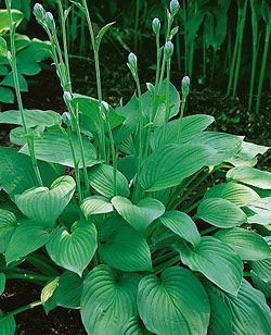"Hosta undulata ""Big Daddy"""