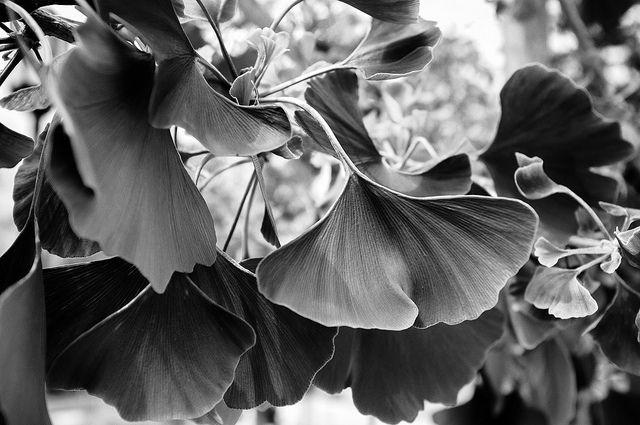 May 24   Ginko   Flickr - Photo Sharing!