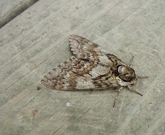 Best 25 Brown Moth Ideas On Pinterest  Butterfly Wings Huge Impressive Small Moths In Bathroom Inspiration