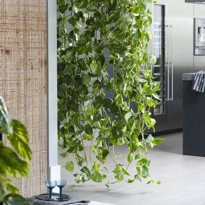 Les longues lianes tombantes du scindapsus se transforment rapidement en voile végétal.