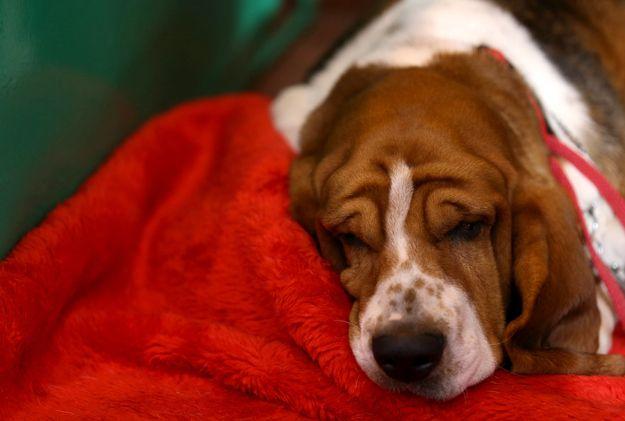 This sleepy basset hound.